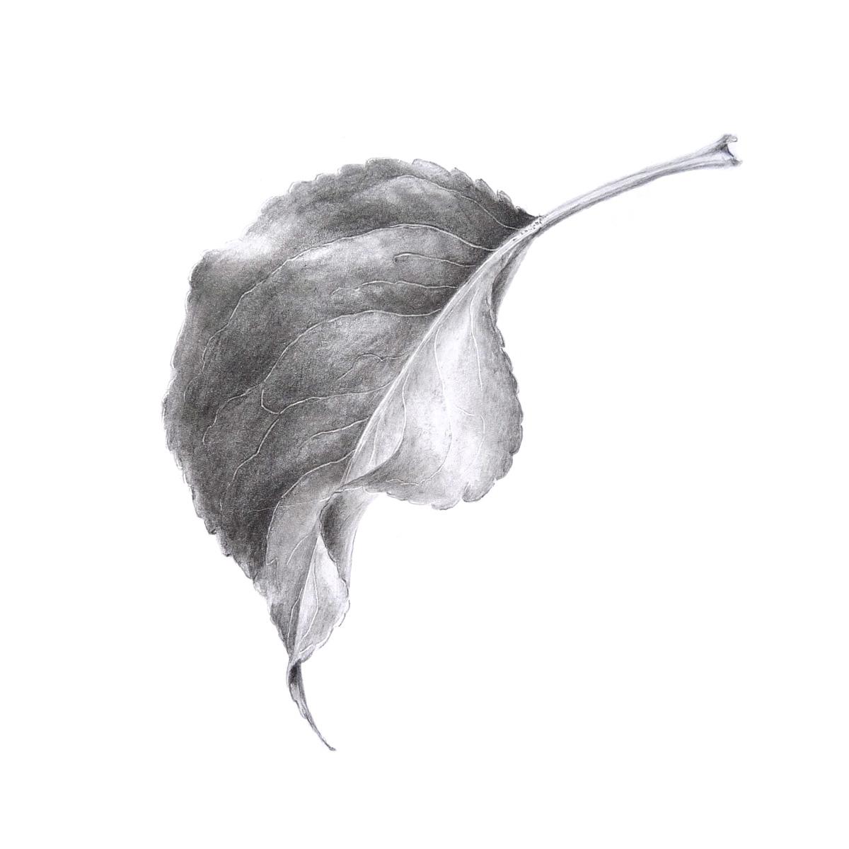 Drawn leaves tonal 2013 Frensen: Sigrid Graphite Monday