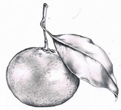 Drawn pencil fruit Valwebb art The com