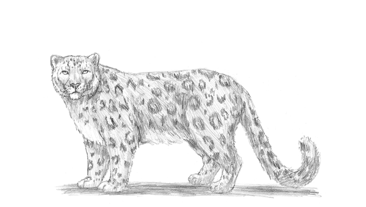 Drawn snow leopard Step Leopard can you By