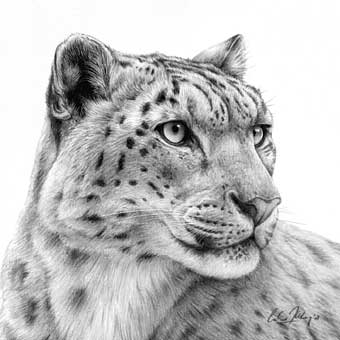 Drawn snow leopard Images 20 Drawings Pinterest about