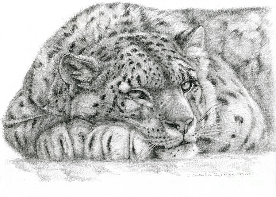 Drawn snow graphite Snow Leopards Leopard Leopard Snow