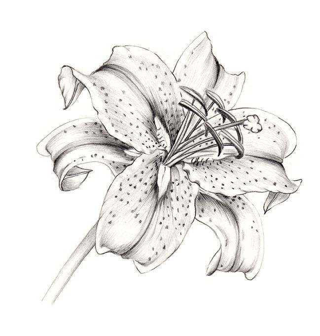 Drawn lily More Pin lilies Lilies and
