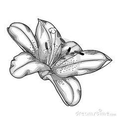 Drawn lily Engraving black background calla white