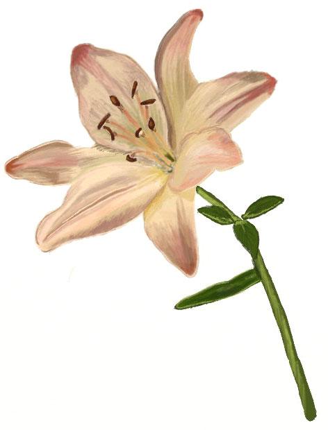Drawn lily Lily Draw to Draw a