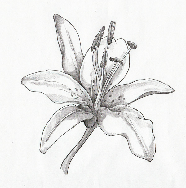 Drawn amd lily  Lilies Search drawing Google