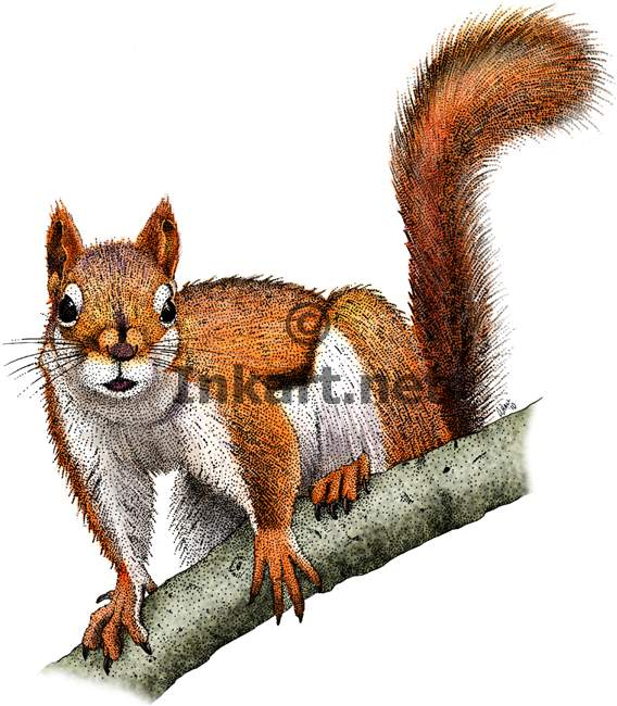 Drawn squirrel red squirrel  squirrel Search Google drawing