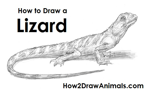 Drawn lizard To Lizard Draw How a