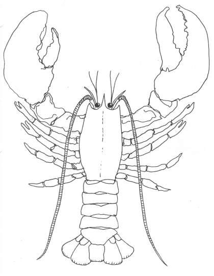 Drawn lobster Lobsters regenerate it claw if