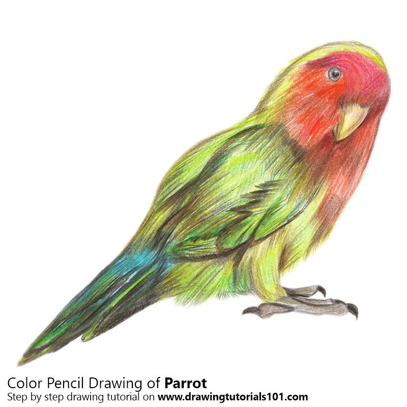 Drawn parakeet colour pencil Colored with Color Parrot Pencils