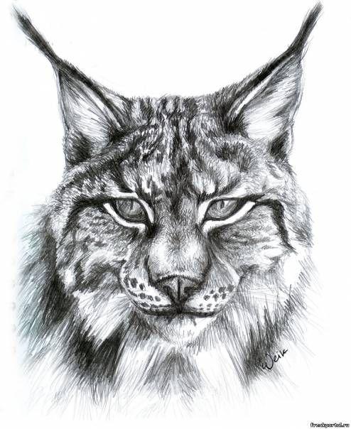 Drawn lynx #tattoo #art drawings Pinterest on