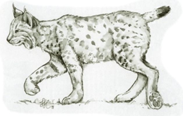 Drawn lynx By step by ARCMEL step