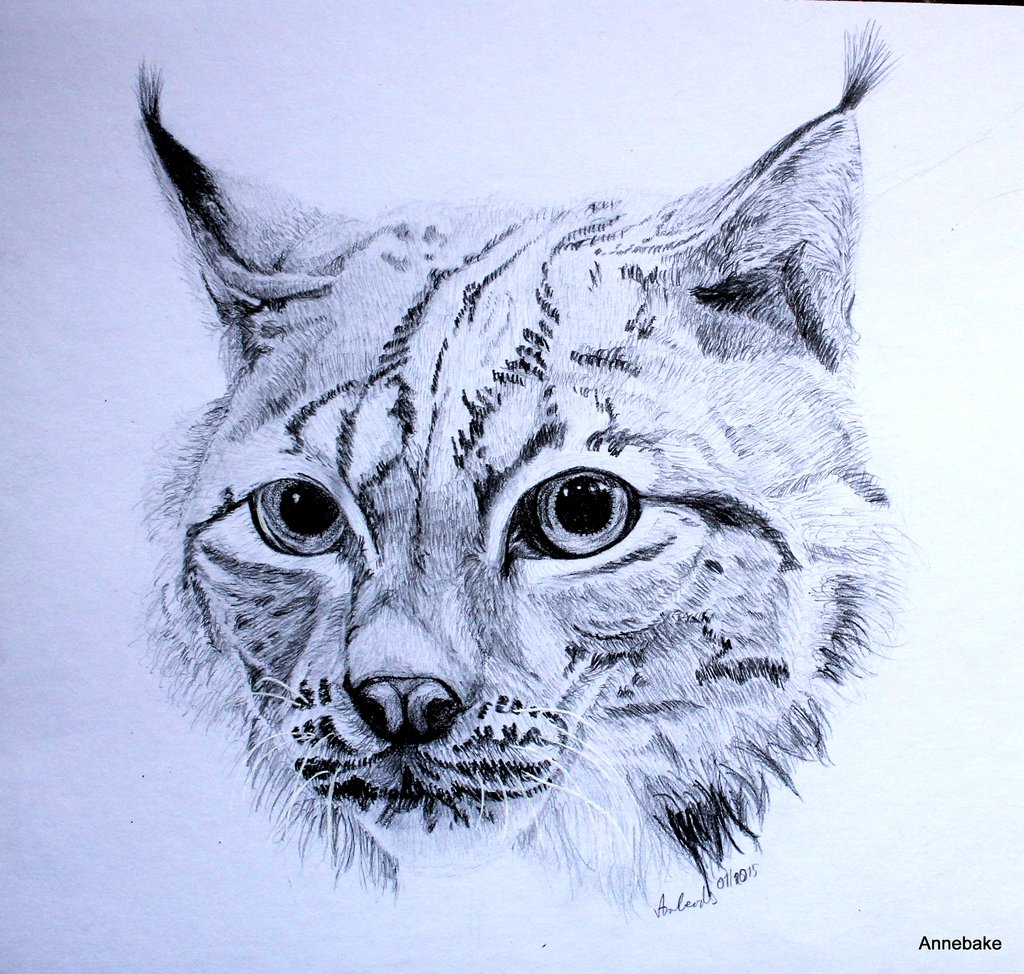 Drawn lynx Drawing by on DeviantArt Anbeads