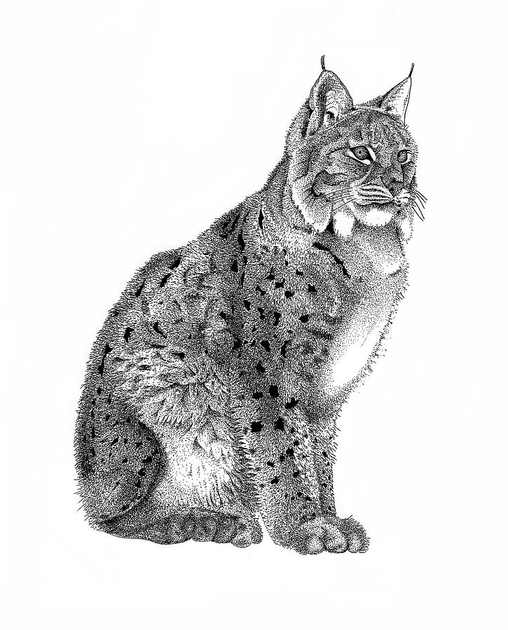 Drawn lynx Realistic Art Drawing Pencil Images