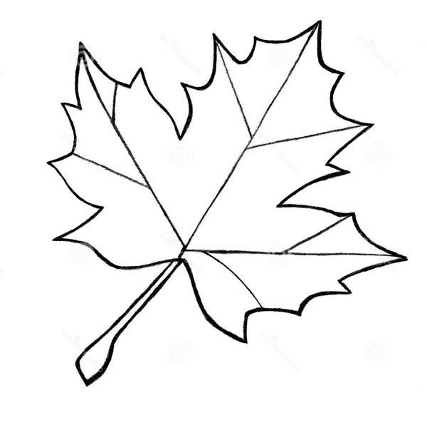 Drawn maple leaf Variety  Maple string Sketch