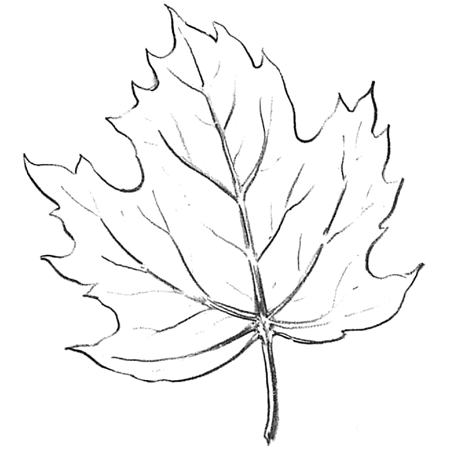 Drawn leaves big leaf maple Step Leaves step – Leaf