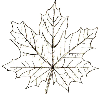Drawn leaves big leaf maple Maple step How by Step