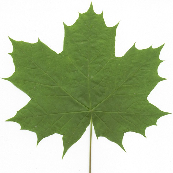 Drawn leaves big leaf maple Wood Lumber Bigleaf (Hardwood) Bigleaf