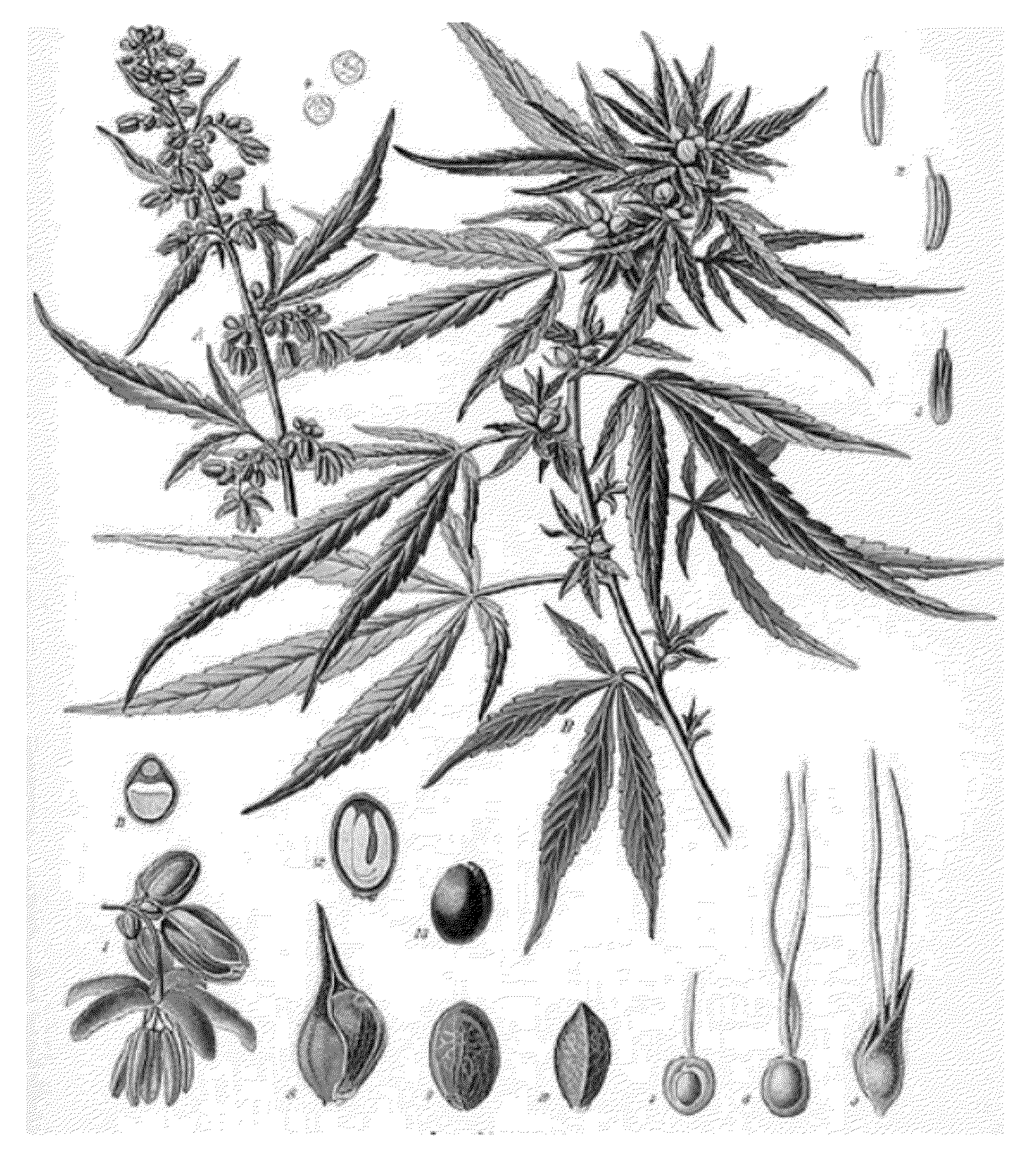 Drawn pot plant weed line Drawing Indicating Patent  Patent