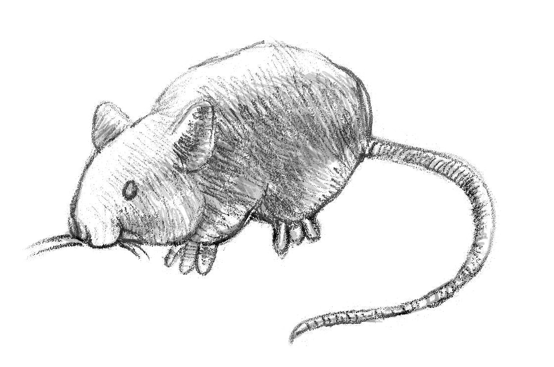 Drawn rat basic Mouse Step by Draw How