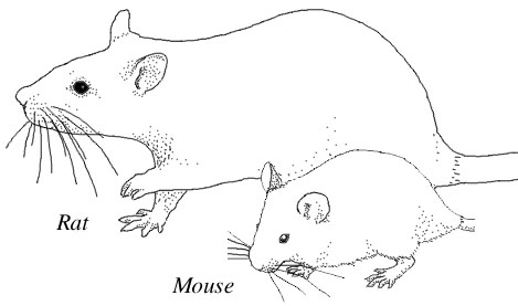 Drawn rodent baby mouse And mice showing Drawing rats