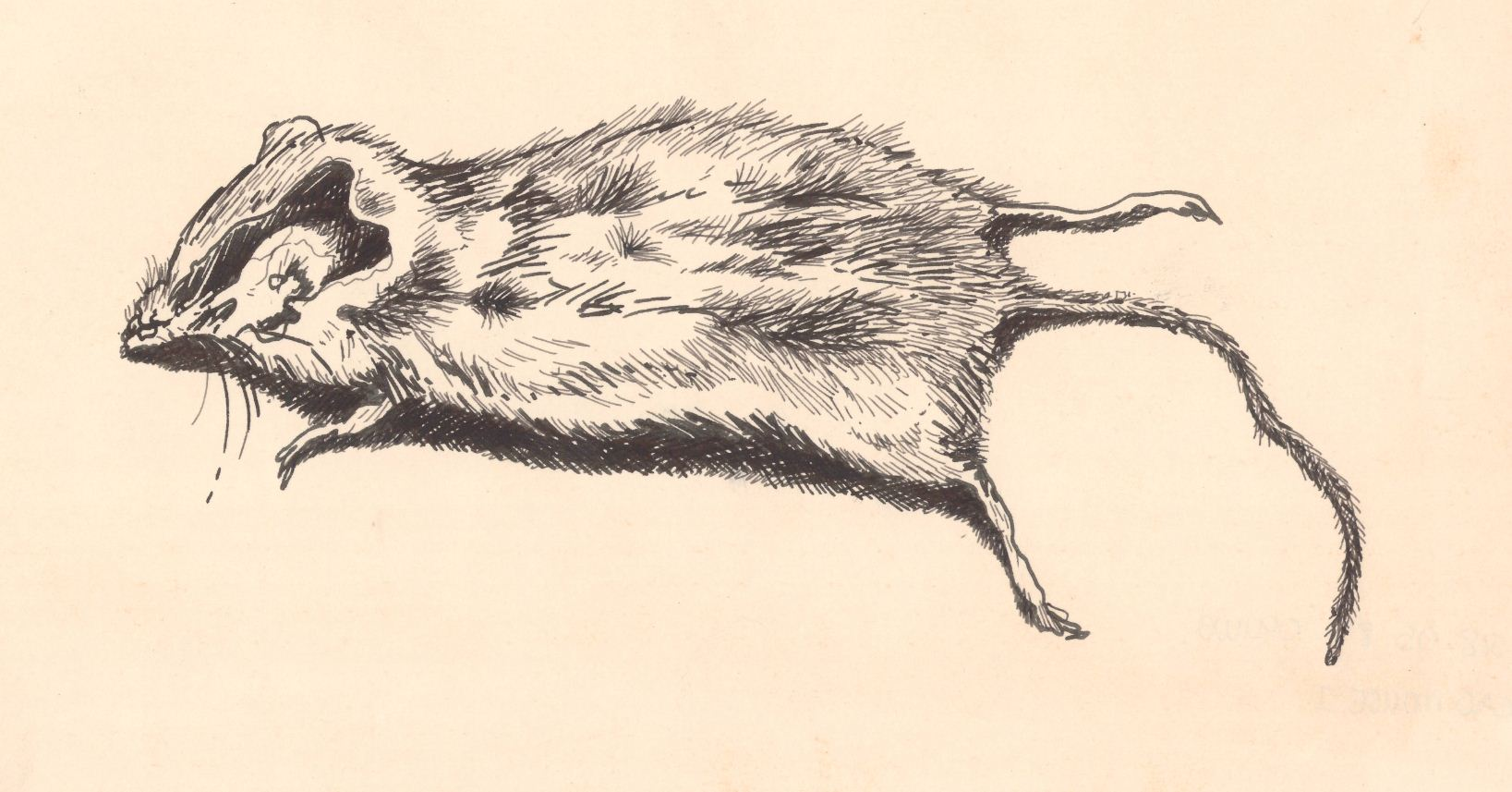 Drawn rodent dead SADF dead and a study