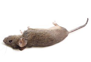 Drawn rodent dead Of How Mice Mice Related