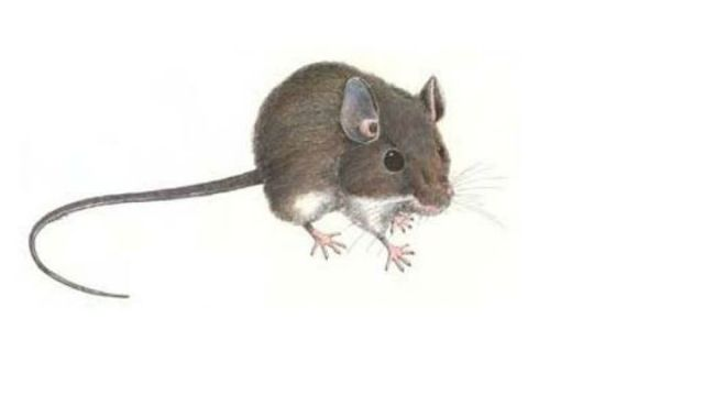 Drawn rodent deer mouse Deadly Deer San CBS drawing