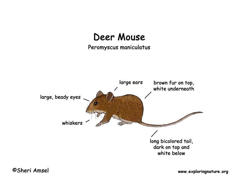 Drawn rodent deer mouse Deer) Mouse (Deer)