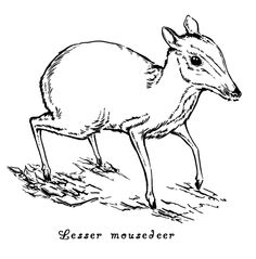Drawn rodent deer mouse DeerMice Pages · Animal Mice