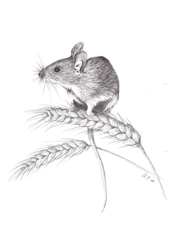 Drawn rodent field mouse Mouse  mouse by on
