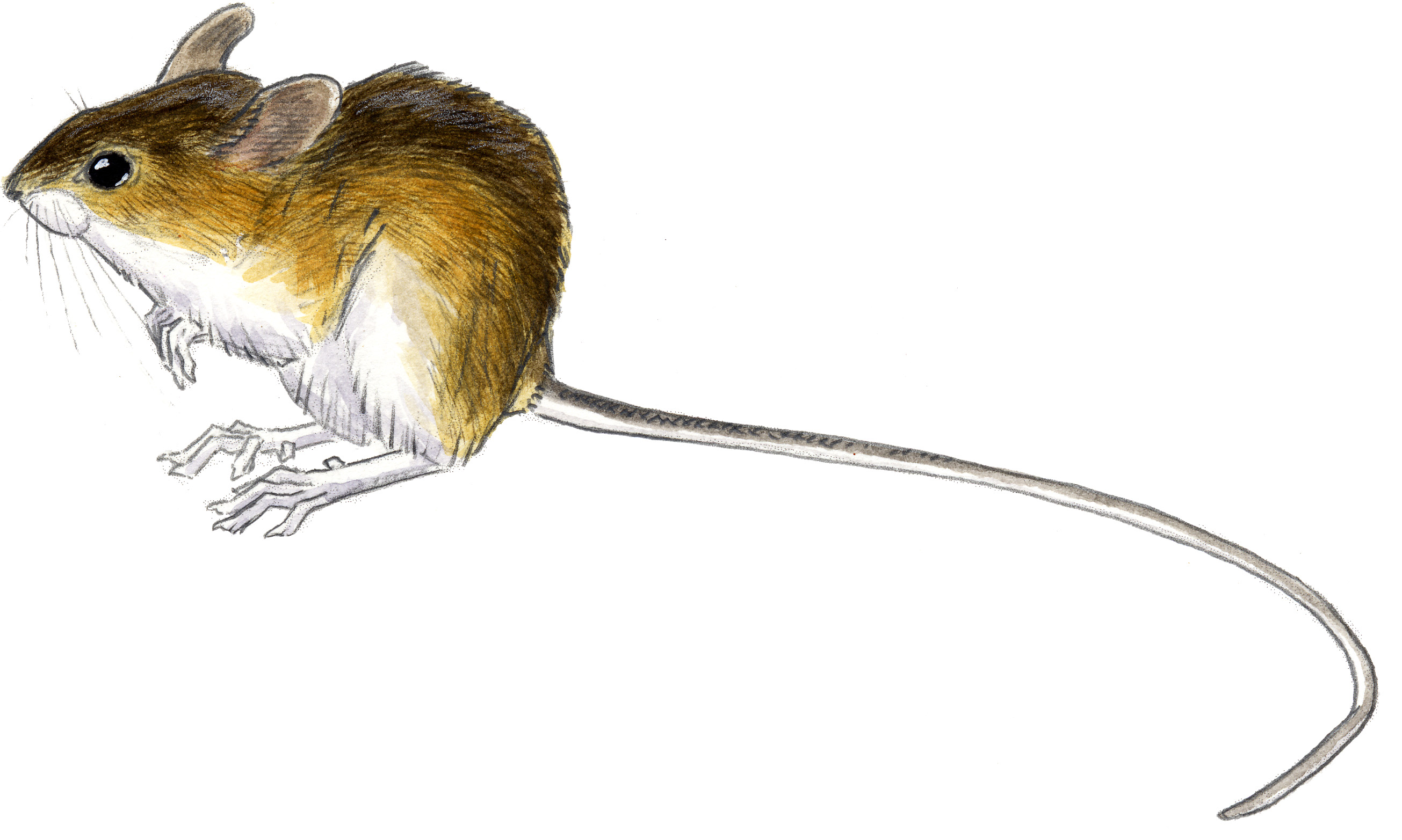 Drawn rodent field mouse Mouse Field Drawing drawing Mouse