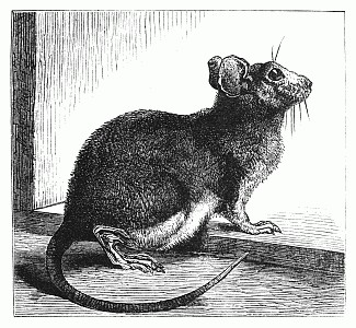 Drawn rodent little mouse Little Mouse Drawing ReusableArt com