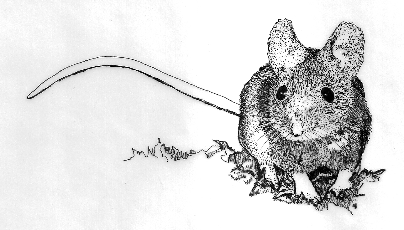 Drawn rodent field mouse Ellen by by DORMICE MICE