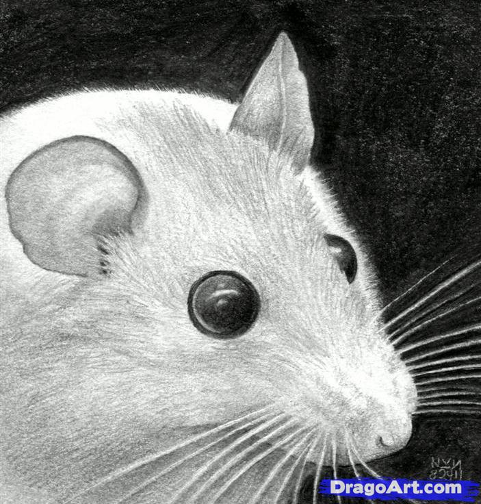 Drawn rodent mouse head Realistic Image mice  Gallery