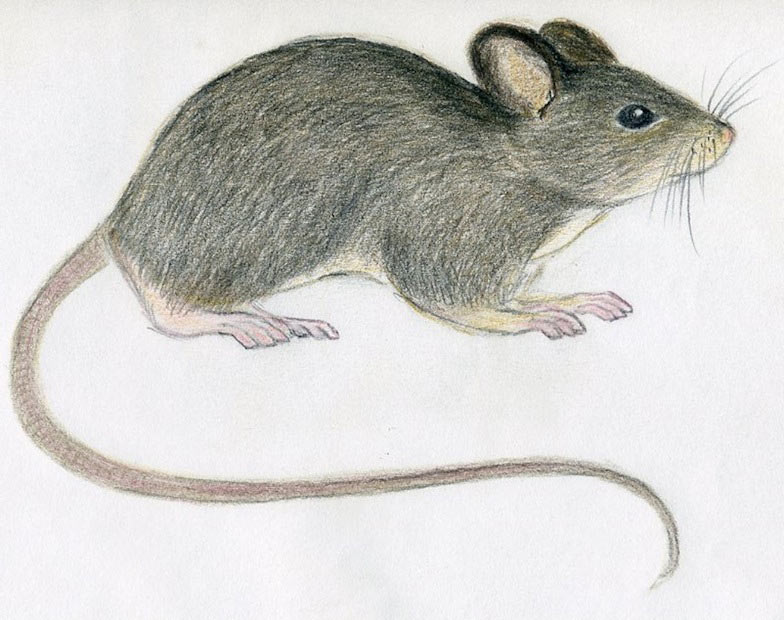 Drawn rodent pencil drawing Image realistic Gallery mice