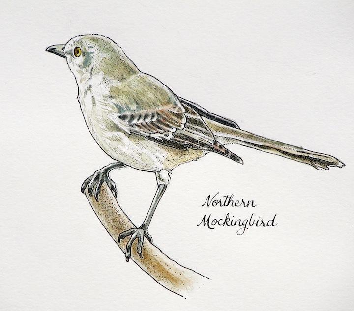Drawn mockingbird Mimus Northern Life: Ward: Drawn