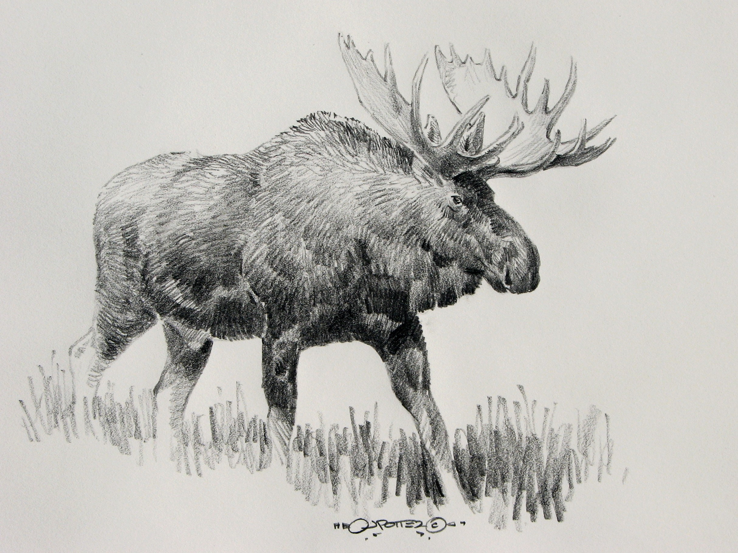 Drawn moose Drawings Moose