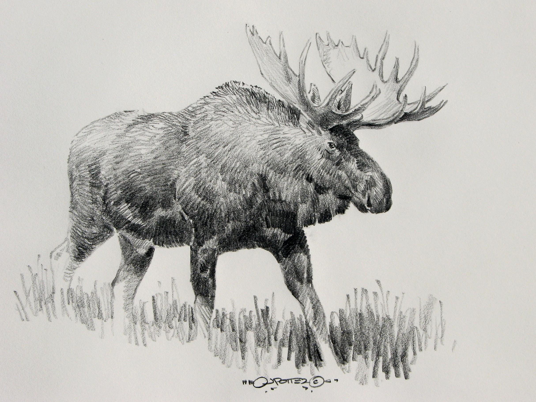 Drawn moose Drawings Moose