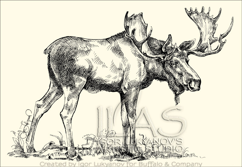Drawn moose Alces moose alces bull Bull