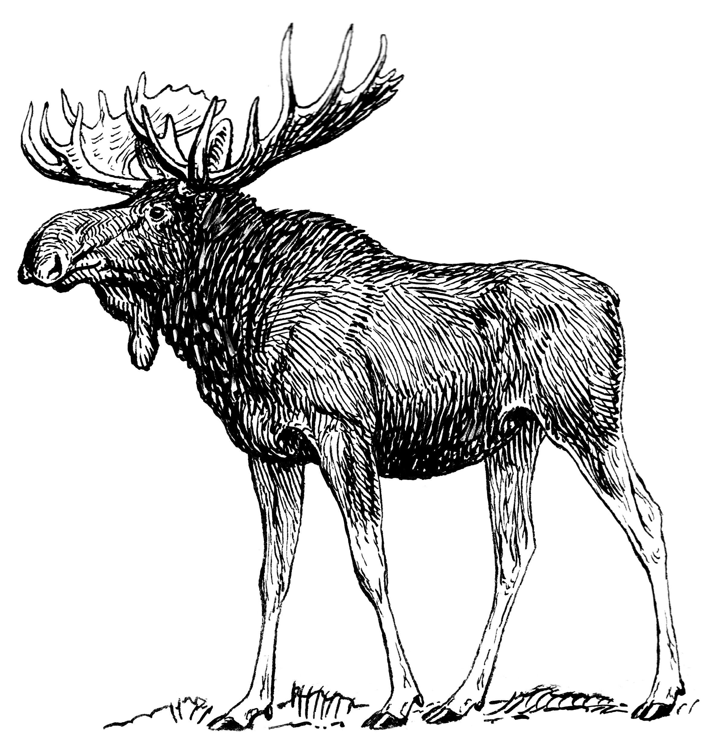 Drawn moose Moose the  Young free