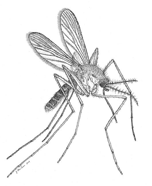 Drawn mosquito Untitled Document quinquefasciatus Culex
