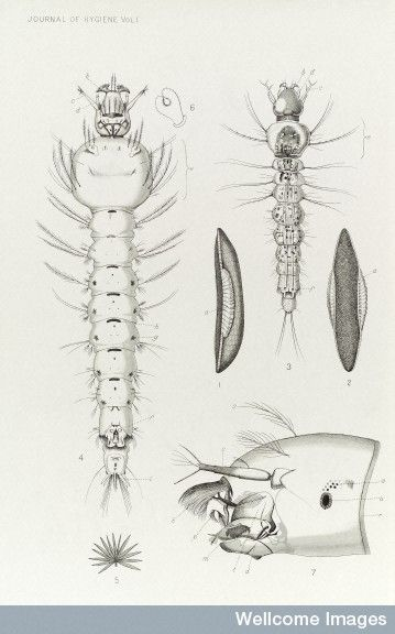 Drawn mosquito scientific plant On Life Pinterest 25+ ideas