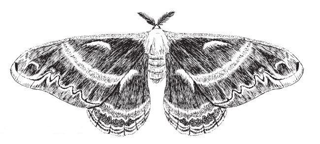 Drawn moth WAMBCecropiaDrawn JPG Education moth cecropia