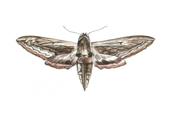 Drawn moth McNab Hawk Moth Tiffany Exhibition
