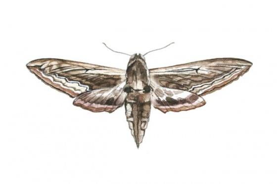 Drawn moth McNab Hawk Moth Tiffany Exhibition