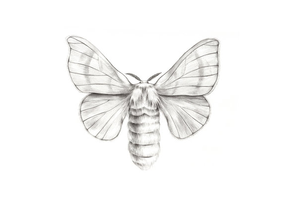 Drawn moth Pencil drawing Original drawing and
