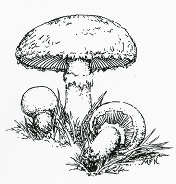 Drawn mushroom Mushroom Mushroom Marie's clipart clipart