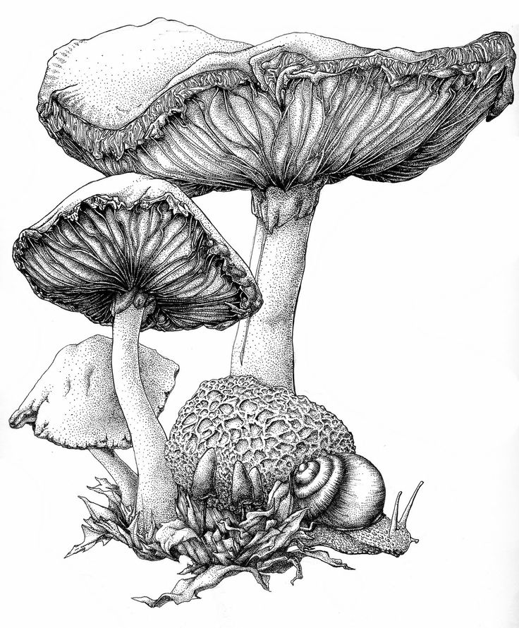 Drawn mushroom botanical Edible Illustration Reproduction Mushroom Print