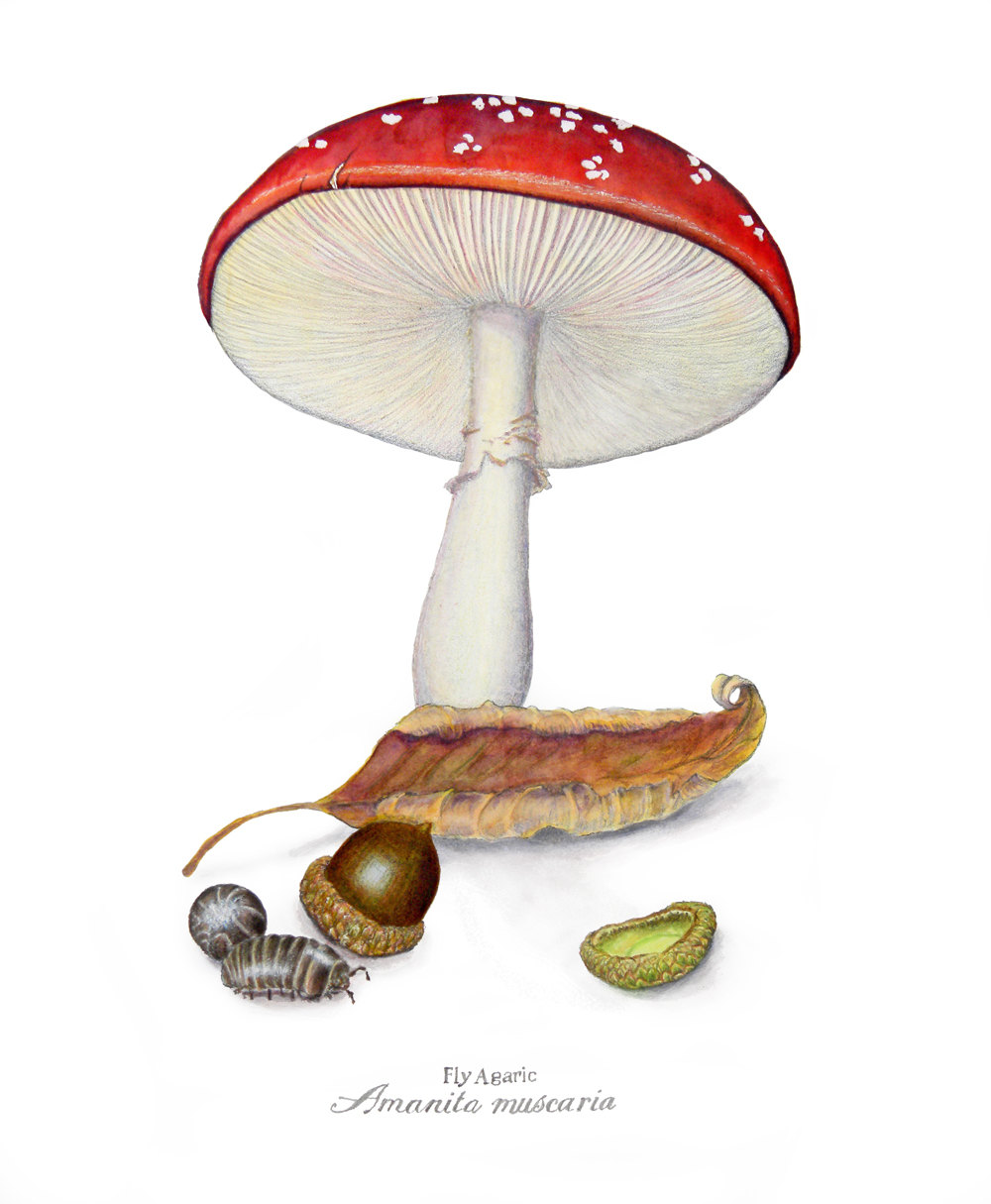 Drawn mushroom botanical $40 Muscaria Etsy from via