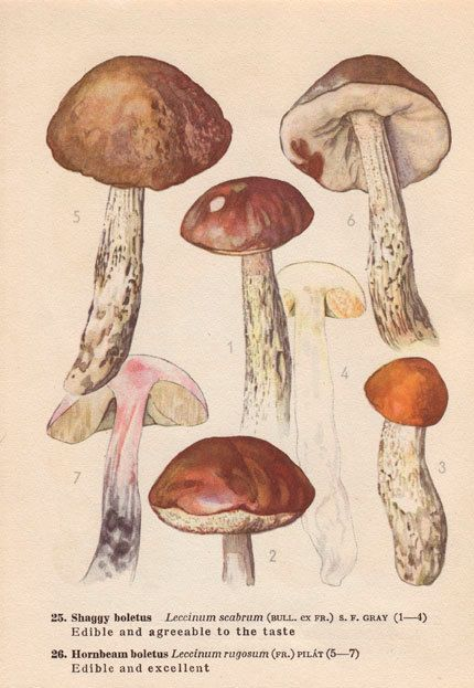 Drawn mushroom botanical Images Print mushrooms motif: Botanical